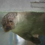 上野動物園のユーラシアカワウソ