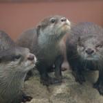 サンシャイン水族館のカワウソ家族