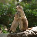 今見られる!上野動物園の赤ちゃん(3)プレーリードッグ