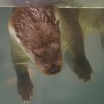 浮き寝カワウソ(上野動物園)
