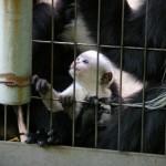 アビシニアコロブスの赤ちゃん(上野動物園)