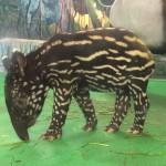 マレーバクの赤ちゃん(多摩動物公園)