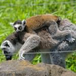 今見られる!上野動物園の赤ちゃん(2)ワオキツネザル