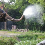鼻から水ブシュー!インドゾウ(ズーラシア)