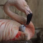 フラミンゴの赤ちゃん(大森山動物園)