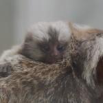 コモンマーモセットの赤ちゃん(大森山動物園)
