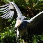 飛ぶ!ハシビロコウ(上野動物園)