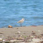 シロチドリと鳥海山